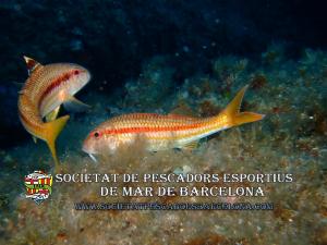 moll_mullus_surmuletus_08(www.societatpescadorsbarcelona.com)