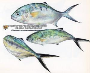 palometa_trachinotus_ovatus_01(www.societatpescadorsbarcelona.com)