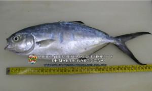 palometa_trachinotus_ovatus_02(www.societatpescadorsbarcelona.com)
