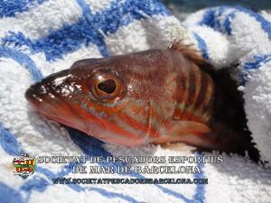 Serra_serranus_cabrilla_04(www.societatpescadorsbarcelona.com)