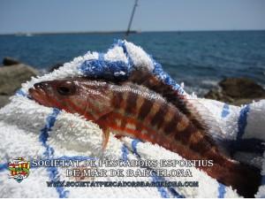 Serra_serranus_cabrilla_05(www.societatpescadorsbarcelona.com)