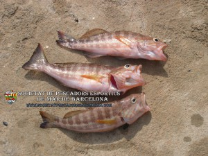 Serra_serranus_cabrilla_09(www.societatpescadorsbarcelona.com)