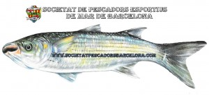 llissera_mugilidae_01(www.societatpescadorsbarcelona.com)