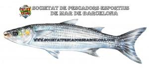 llissera_mugilidae_02(www.societatpescadorsbarcelona.com)