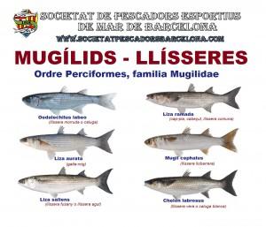 mugilidae_llissera_01_(www.societatpescadorsbarcelona.com)