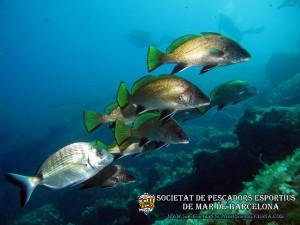 Corballs_de_roca_sciaena_umbra_03(www.societatpescadorsbarcelona.com)