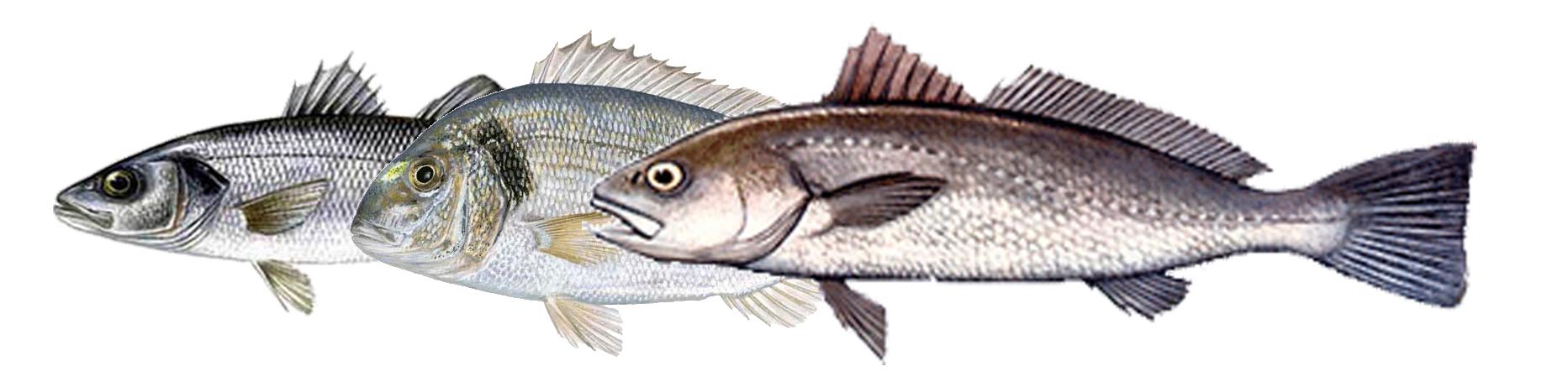Peces escapados de piscifactoría, ¿Cuánto sabes?. Encuesta.Peixos escapats de piscifactoria, què en saps?. Enquesta.
